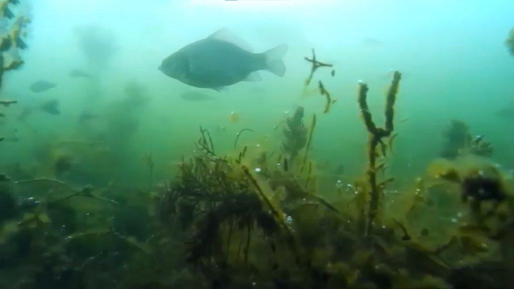 Карась - легендарно живучая рыба