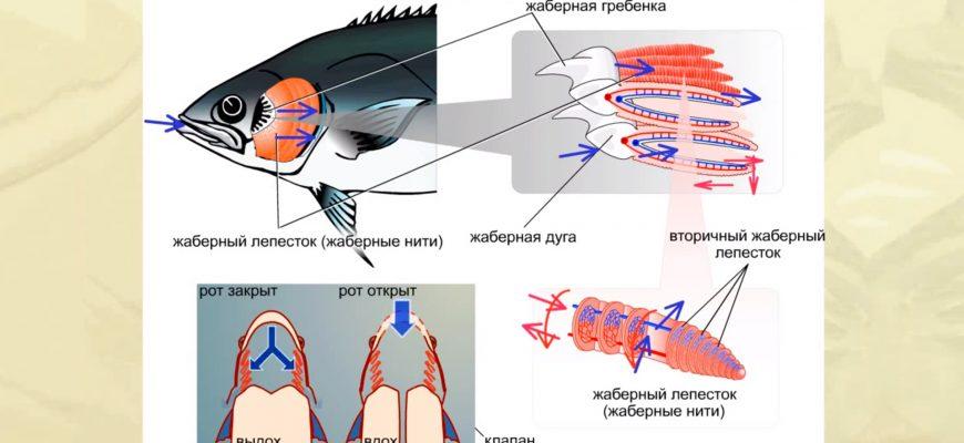 Общие сведения о рыбах