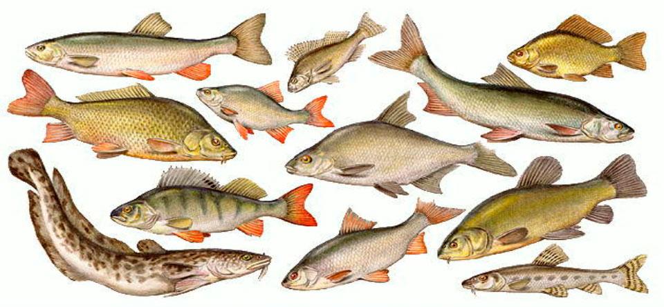 Русско-английско-научный словарь названий пресноводных рыб